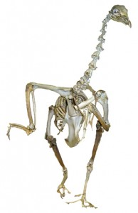 Turkey skeleton