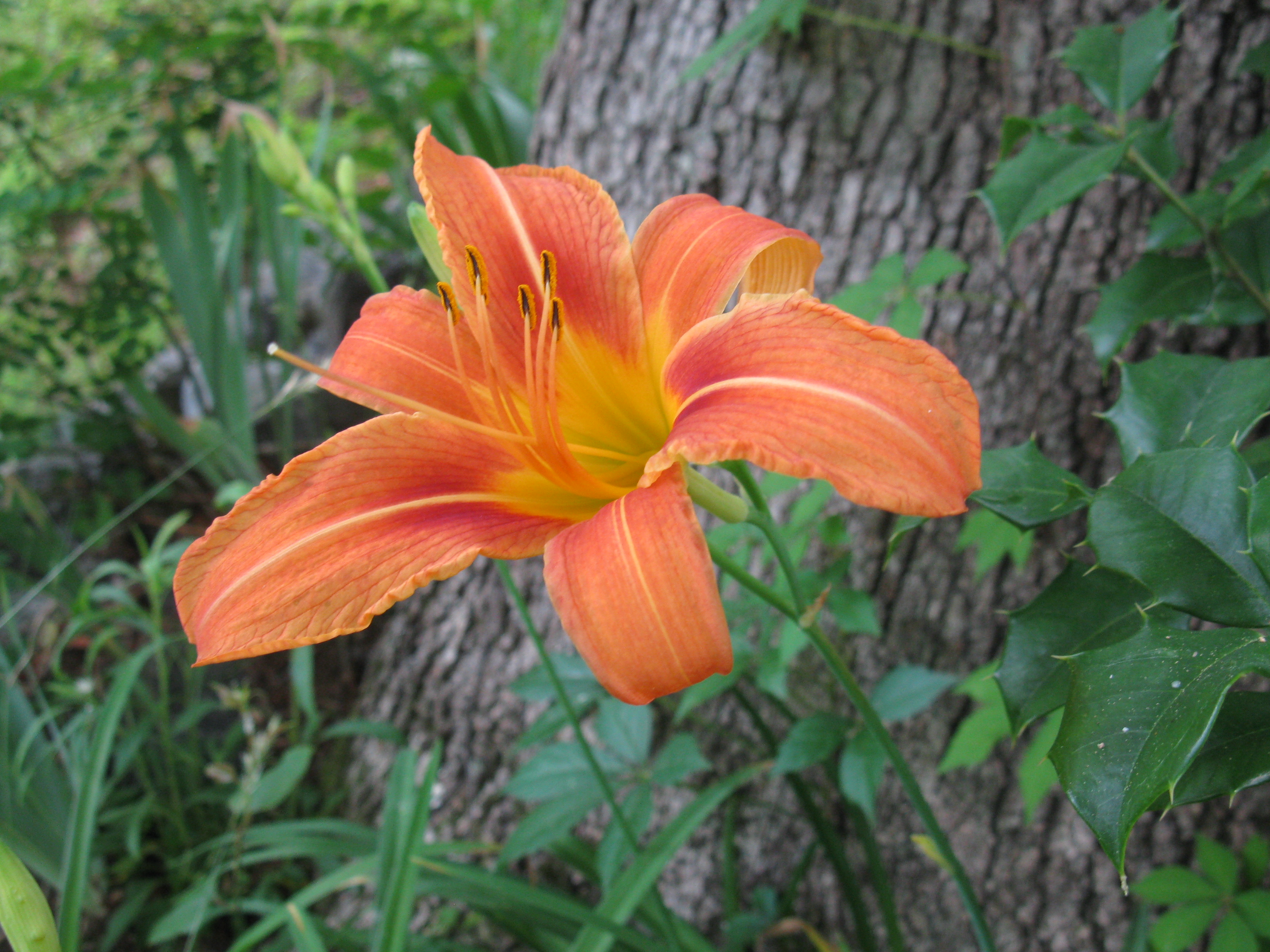 I hate orange lilies rachel marsom this wasnt always the case a few weeks ago i stood in the big lots gardening aisle and held two bulb boxes in my hands day lily bulbs were on sale for izmirmasajfo
